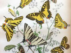 15th February 2018. Rothschild Butterfly Prints